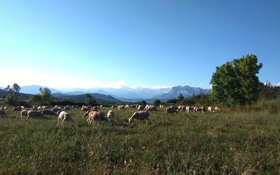 Excursionistas respetuosos con los pastores de cabras y ovejas